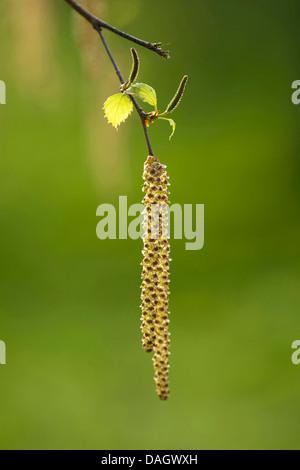 Common hazel (Corylus avellana), male catkins, Germany - Stock Photo