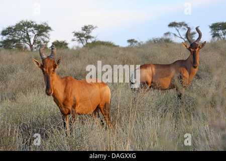 red hartebeest (Alcelaphus buselaphus), two animals in the savannah, South Africa, Kgalagadi Transfrontier National - Stock Photo