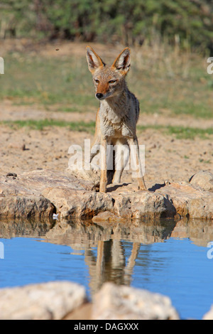 black-backed jackal (Canis mesomelas), standing at a water place, South Africa, Kgalagadi Transfrontier National - Stock Photo