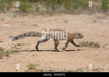 South African ground squirrel, Cape ground squirrel (Geosciurus inauris, Xerus inauris), walking over soil ground, South Africa, Kgalagadi Transfrontier National Park