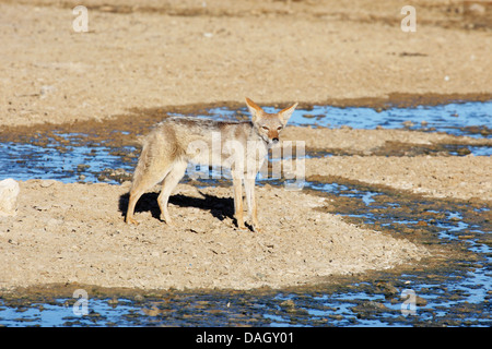black-backed jackal (Canis mesomelas), standing at a watercourse running dry, South Africa, Kgalagadi Transfrontier - Stock Photo