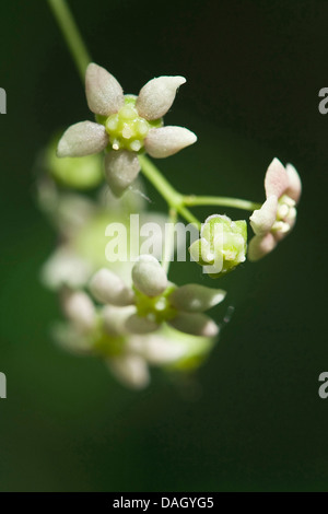 Broad-leaved Spindle Tree (Euonymus latifolia), flowers - Stock Photo