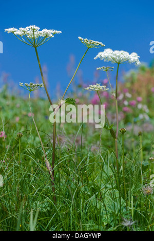 Alpine Hogweed (Heracleum sphondylium ssp. alpinum), blooming, Switzerland - Stock Photo