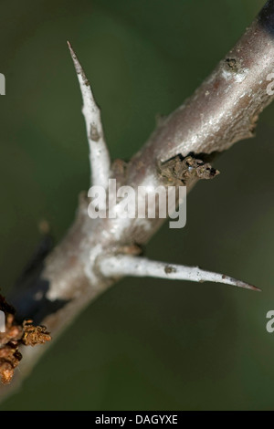 common seabuckthorn (Hippophae rhamnoides), twig with thorns, Germany - Stock Photo