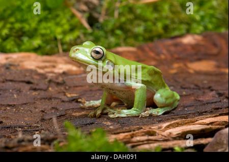 Green Tree Frog White's Treefrog, White's Tree Frog (Litoria caerulea, Hyla caerulea, Pelodryas caerulea), on a - Stock Photo