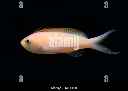 Threadfin anthias (Nemanthias carberryi), swimming - Stock Photo