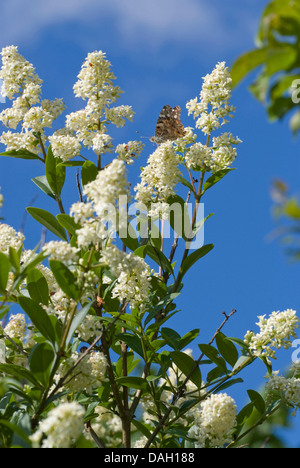 common privet, golden privet, wild privet, prim, European privet (Ligustrum vulgare), blooming shrub, Germany - Stock Photo