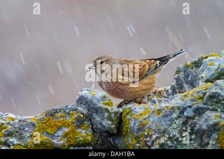 twite (Carduelis flavirostris), sitting on a rock at snowfall, Switzerland, Toggenburg, Chaeserrugg - Stock Photo