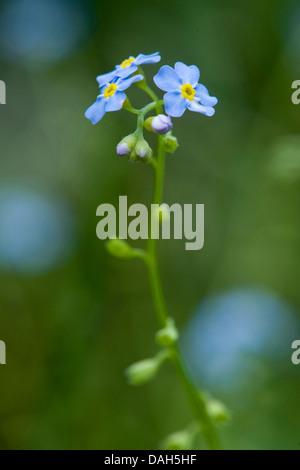 water forget-me-not (Myosotis palustris, Myosotis scorpioides), blooming, Germany - Stock Photo