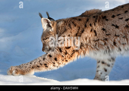 Eurasian lynx (Lynx lynx), in the snow, Germany, Bavaria, Bavarian Forest National Park - Stock Photo