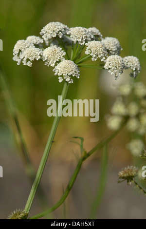 parsley water-dropwort (Oenanthe lachenalii), inflorescence, Germany - Stock Photo