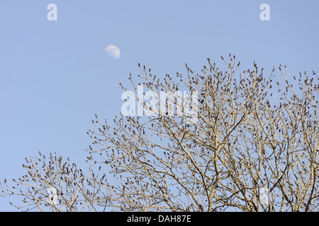 Fraxinus excelsior, Ash tree in flower bud in Spring with half moon, Wales, UK - Stock Photo