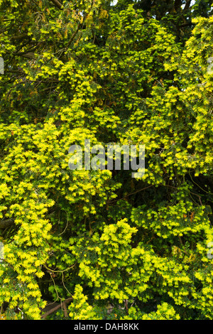 Yew, Taxus baccata, foliage showing new growth, England, July - Stock Photo