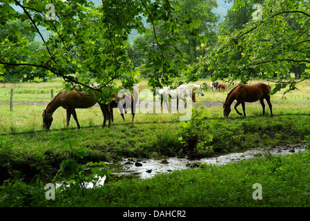 Horses eat by stream in Cades Cove Great Smoky Mountains National Park Tennessee USA tranquil beauty - Stock Photo