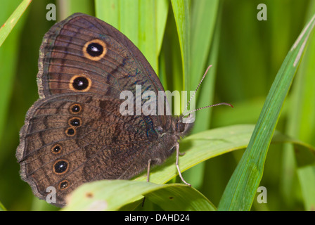 A common wood nymph butterfly, Cercyonis pegala, on a ...