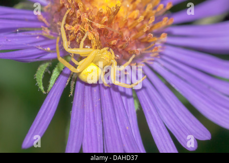 Goldenrod crab spider (Misumena vatia) waiting in ambush on an aster (Symphyotrichum spp), Parrots Bay Conservation - Stock Photo