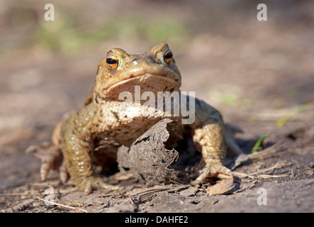 Toad migration, common toad / Bufo bufo - Stock Photo