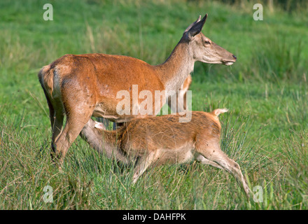 Red Deer with young animal / Cervus elaphus - Stock Photo
