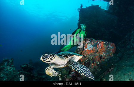 Hawksbill Turtle (eretmochelys imbricata ) and blonde female scuba diver, Liberty Wreck, Tulamben, Bali, Indonesia - Stock Photo