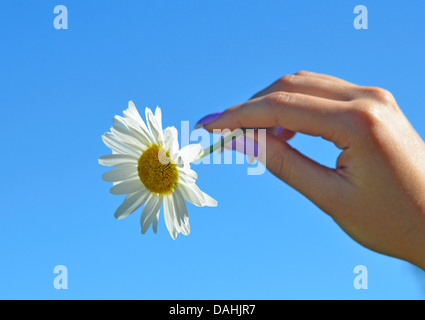 camomile flower in a woman hand against blue sky - Stock Photo