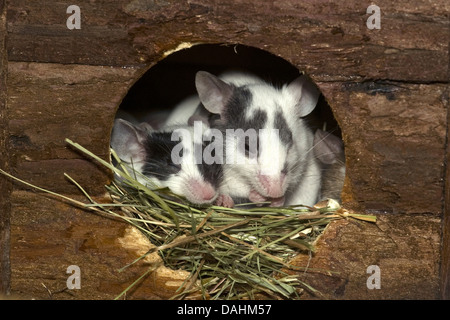 house mouse, mus musculus - Stock Photo