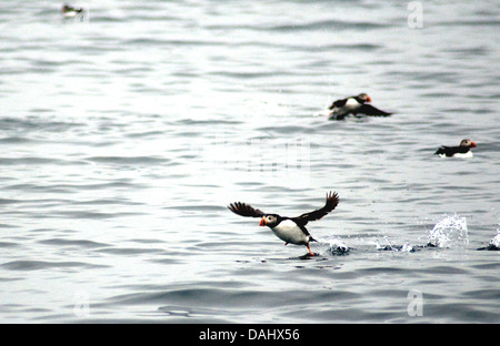 A puffin, Iceland's iconic bird usually clustered in colonies, takes off near Reykjavik harbour - Stock Photo