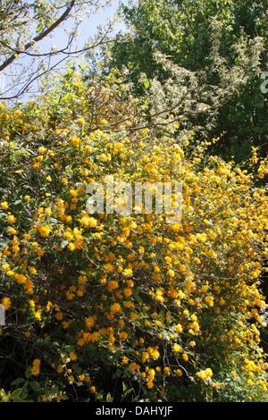 Kerria Japonica Flower - Stock Photo
