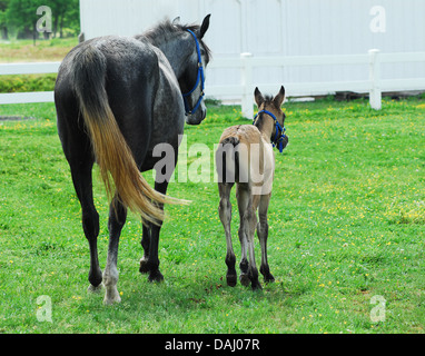 A Mother horse walking with her baby in the pasture. - Stock Photo