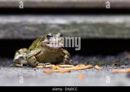 Rana temporaria. Common garden frog eating mealworms. - Stock Photo