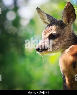 Roe Deer (Capreolus capreolus) - Stock Photo