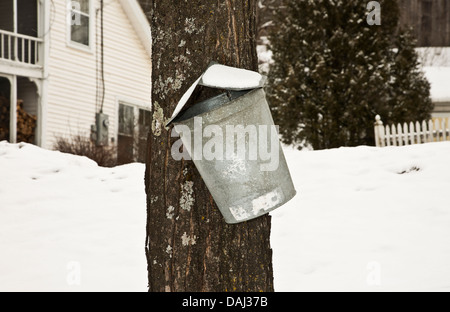 Tapping maple syrup bucket on a maple tree in Vermont, USA, New England - Stock Photo