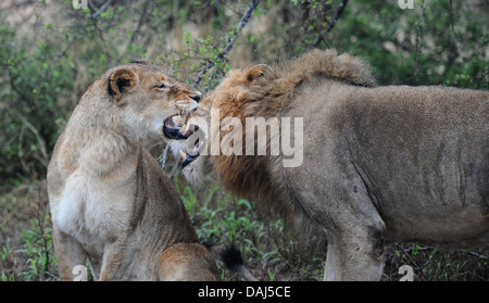 lioness and lion before mating in seduction phase - Stock Photo