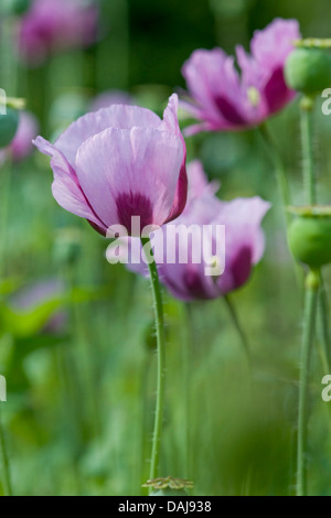 opium poppy (Papaver somniferum), blooming - Stock Photo