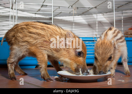 wild boar, pig, wild boar (Sus scrofa), two gentle young animals feeding from a plate , Germany - Stock Photo