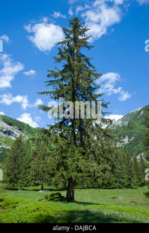 Norway spruce (Picea abies), single tree in the mountains, Switzerland - Stock Photo