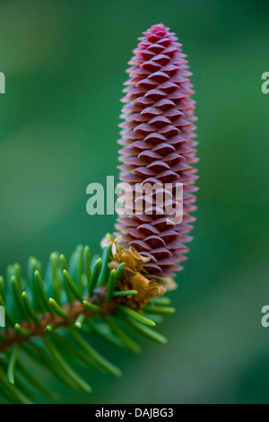 Norway spruce (Picea abies), blooming cone, Germany - Stock Photo