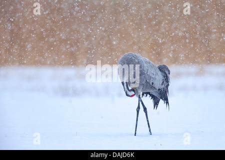 Common crane, Eurasian Crane (Grus grus), crane caring of its feathers at heavy snowfall, Germany, Mecklenburg-Western - Stock Photo