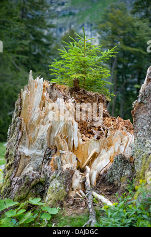 Norway spruce (Picea abies), young spruce , Germany, Bavaria, Allgaeu - Stock Photo