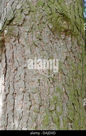 European black pine, Austrian pine, Black Pine, Corsican Pine (Pinus nigra), bark - Stock Photo