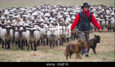 Shepherd apprentice Marcel Franke guides with his dogs a flock of sheep across a meadow  in Altlandsberg, Germany, - Stock Photo
