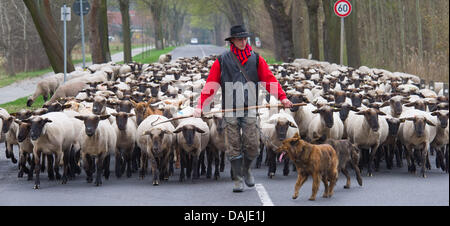 Shepherd apprentice Marcel Franke guides with his dogs a flock of sheep across a country road in Altlandsberg, Germany, - Stock Photo