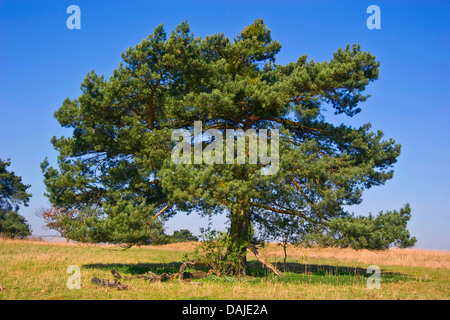 Scotch pine, Scots pine (Pinus sylvestris), single tree in a meadow, Germany - Stock Photo