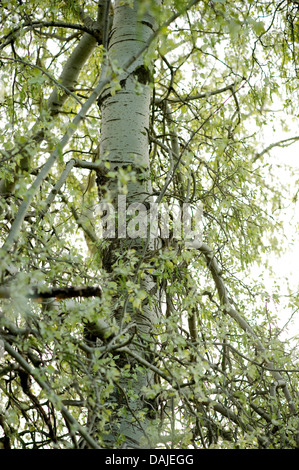 white poplar, silver-leaved poplar, abele (Populus alba), trunk, Germany - Stock Photo