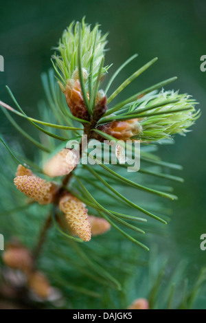 Douglas fir (Pseudotsuga menziesii), branch with male flowers and young needles - Stock Photo