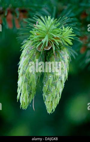 Douglas fir (Pseudotsuga menziesii), branch with immature cones - Stock Photo