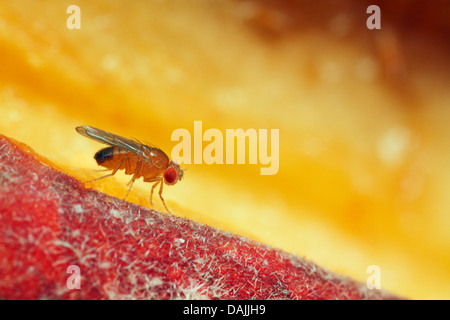 vinegar fly, fruit fly (Drosophila melanogaster), Fruit fly on a peach, Germany, Bavaria - Stock Photo
