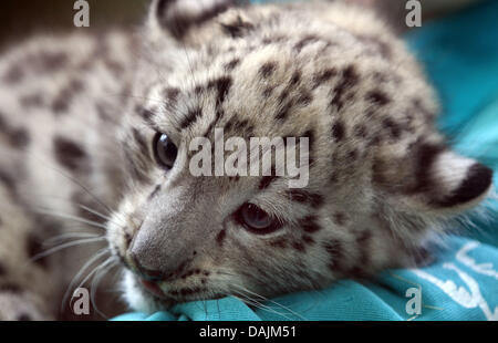 (dpa File) - An archive picture, dated 19 July 2010, shows young female snow leopard 'Nura' having a rest in her - Stock Photo