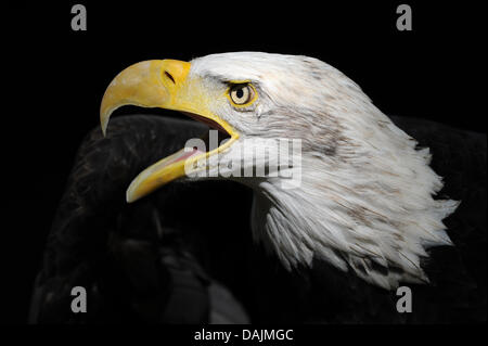 (dpa File) - An archive picture, dated 29 September 2010, shows a bald eagle (Haliaeetus leucocephalus) opening - Stock Photo
