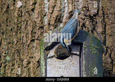 Eurasian nuthatch (Sitta europaea), making the entrance hole of a nest box smaller, Germany, Bavaria - Stock Photo