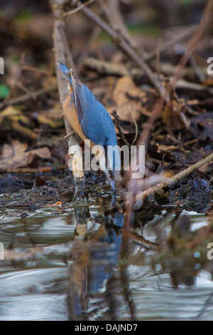 Eurasian nuthatch (Sitta europaea), searching nesting material at a pondside, Germany, Bavaria - Stock Photo